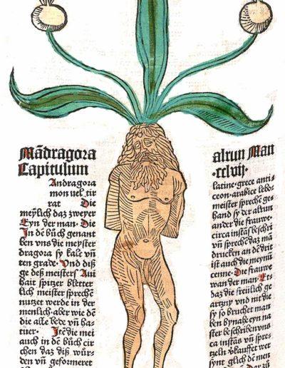 Alraunenmännchen aus dem Kräuterbuch Gart der Gesundheit. Mainz 1485