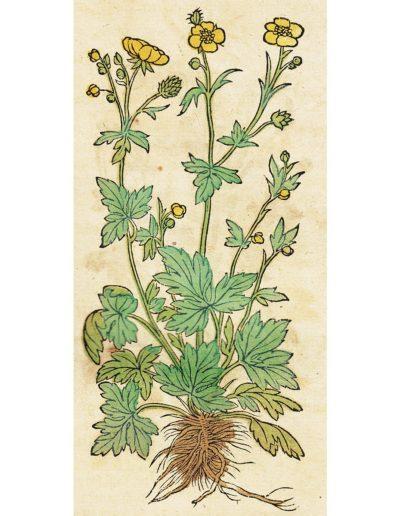 Scharfer Hahnenfuß Abbildung in Hieronymus Bock-Kräuterbuch 1551